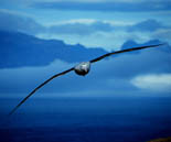 photo of albatross in flight