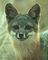 The majestic Island Fox