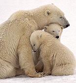 Photo of polar bears