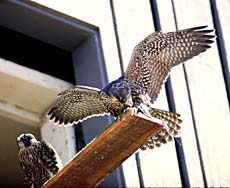 Photo: falcons