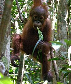 Photo: Orangutan eating