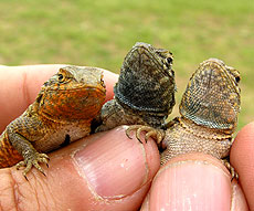 Photo: Side-blotched lizards