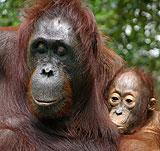 Photo: Orangutans