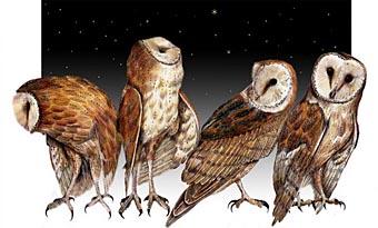 Illustration of four owls