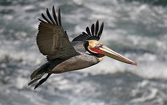 Photo: Pelican