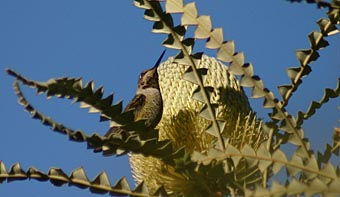 Photo of Banksia with hummingbird