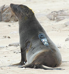 Photo: seal with electronic tag