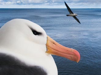 Lanting albatross