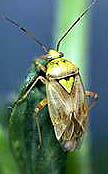 Photo of lygus bug