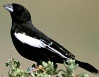 male lark bunting
