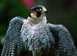 [Photo of peregrine falcon]