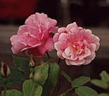 [rose photo]