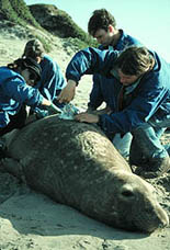 Photo of scientists tagging seal